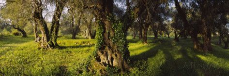 Olive Trees on a Landscape, Corfu, Ionian Islands, Greece Photographic Print by Panoramic Images at AllPosters.com