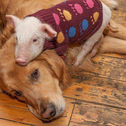 The pig is wearing a sweater.Golden Retriever And Pigs, Animal Right, Piglets Image, Dogs, Future Piglets, Vegan Life, Animal Friends, Unusual Friendship, Animal Suffering
