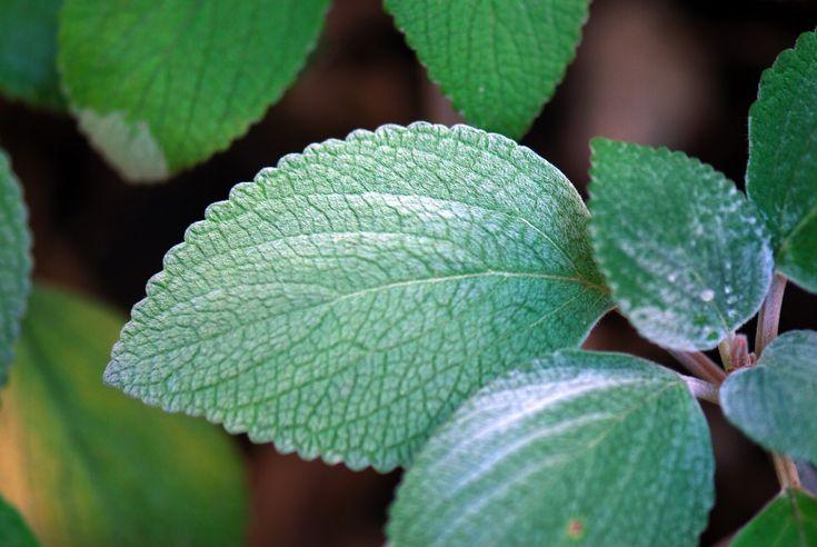 Rýmu nebo alergie porazí rýmovník