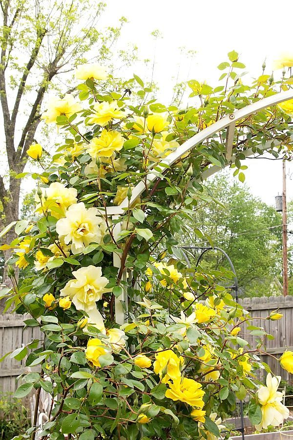 пола является вьющаяся роза желтого цвета фото чаще всего