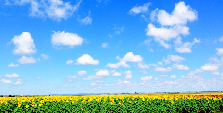 A sunflower field on the outskirts of Toowoomba.