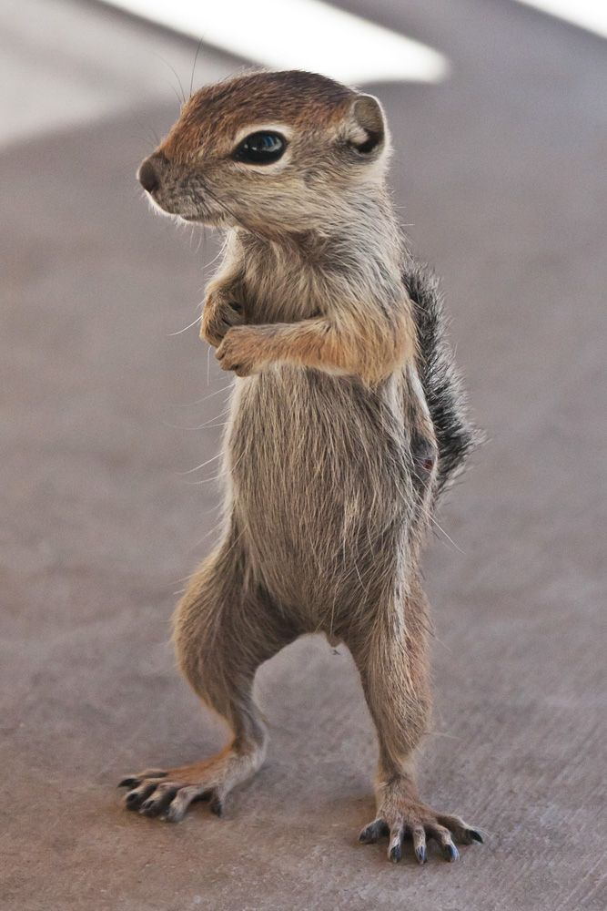 Antelope Ground Squirrel (what's a squirrel to do?)