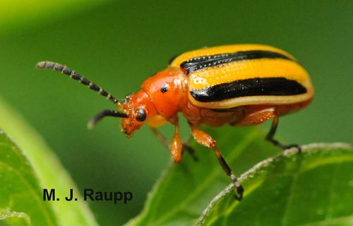 Three lined potato beetle.
