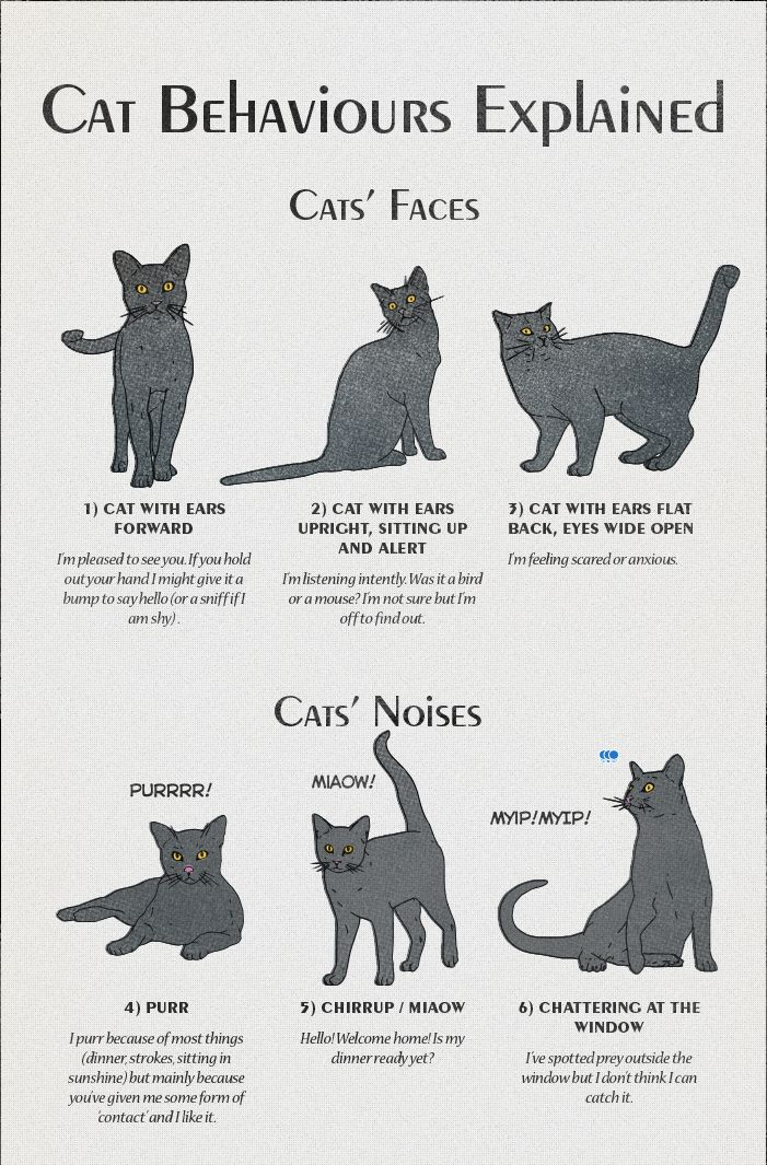 Cat Behavior American Infographic Cat language, Cat facts