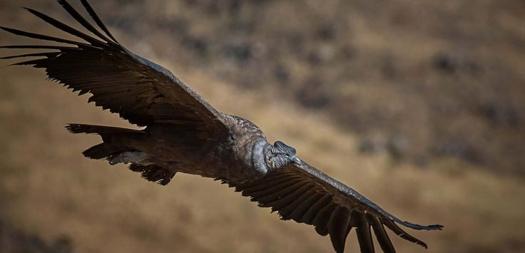34 Andean Condors found dead in Argentina - the poisoning needs to stop! | The Andean Condor is classed as Threatened in Argentina © Pedro Szekely