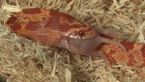 Corn Snake Feeding