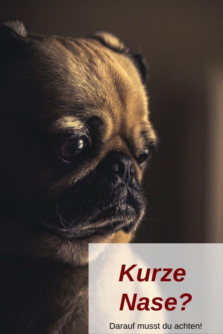 Brachyzephalie Suss Oder Traurig Hund Angst Hunde Tapete Mops