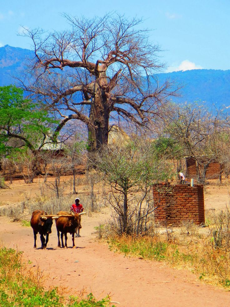The simple life, amongst the majestic baobabs. Mozambique, Africa #travel #inspired #nature #Africa