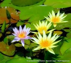 Resultado de imagem para Flores de Lotus e Water Lillies Lilases