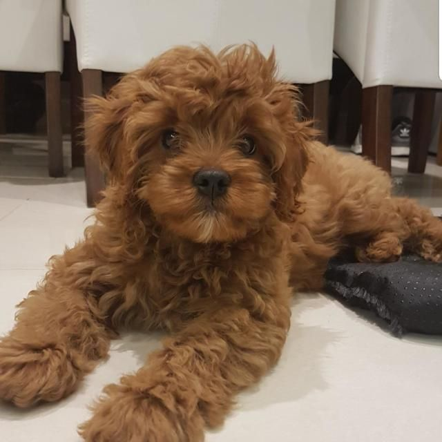 Cavapoo Temperament These Puppies Have A Pleasing Personality And They Would Not Do Anything To Make You Angry These Puppie Cavapoo Puppies Cavapoo Puppies