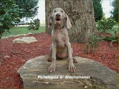 The Weimaraner | My Weimaraner