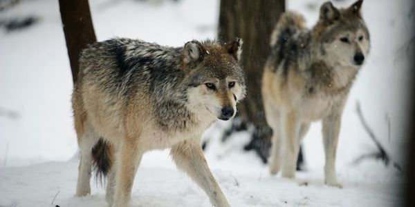 Wolves Under Attack - Tell Obama To Use His Veto