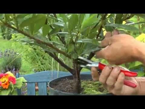 Garten Bonsai Selber Heranziehen Das Schneiden Einer Pflanze Zum Und Die Ersten Schritte Erfolg