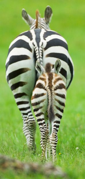 Do these stripes make my butt look big? » Sorry, I could not resist!! ha ha ha! Such beautiful animals.