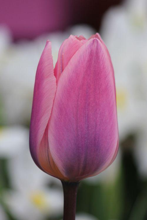 Tulp Light and Dreamy | YouTulip.nl