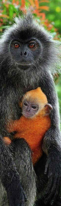 """In adulthood the Francois' Langur is covered in silky black hair. At their longest, a langur will be around 25 inches (64 cm) and weigh up to around 16 pounds (7.2 kg) making them a fairly average sized primate. In youth however, these curious primates are a bright shade of red-orange, making for a spectacular sight, especially when contrasted with the black hair of their parents. Another unusual fact about the appearance of these langurs is the white ""sideburns"" on the face of the…"