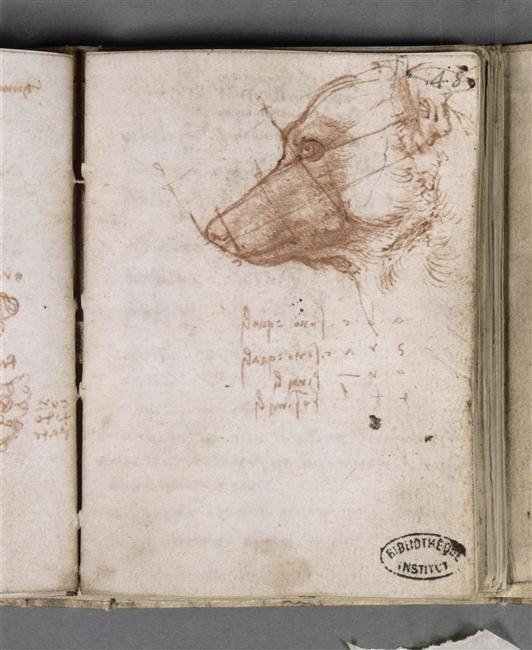 Manuscrit I Vinci Léonard de (1452-1519) 1494-1497 Fol 48 recto : Tête de chien