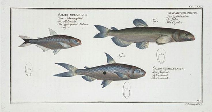 1. Salmo groenlandicus, The Capelan; 2. Salmo melanurus,  The  tail-spotted Salmon; 3. Salmo unimaculatus, The Curimate.