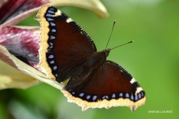 Camberwell Beauty, Nymphalis Antiopa, Summer 2015, in the Garden.