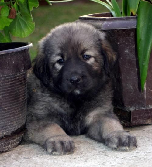 151 best images about dogs sarplaninac amp caucasian