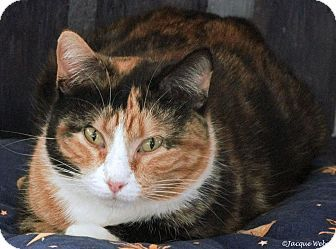 St Louis, MO - ANIMAL HOUSE CAT RESCUE AND ADOPTION CENTER, Domestic Shorthair. Meet Dasher, a cat for adoption. http://www.adoptapet.com/pet/9086580-st-louis-missouri-cat