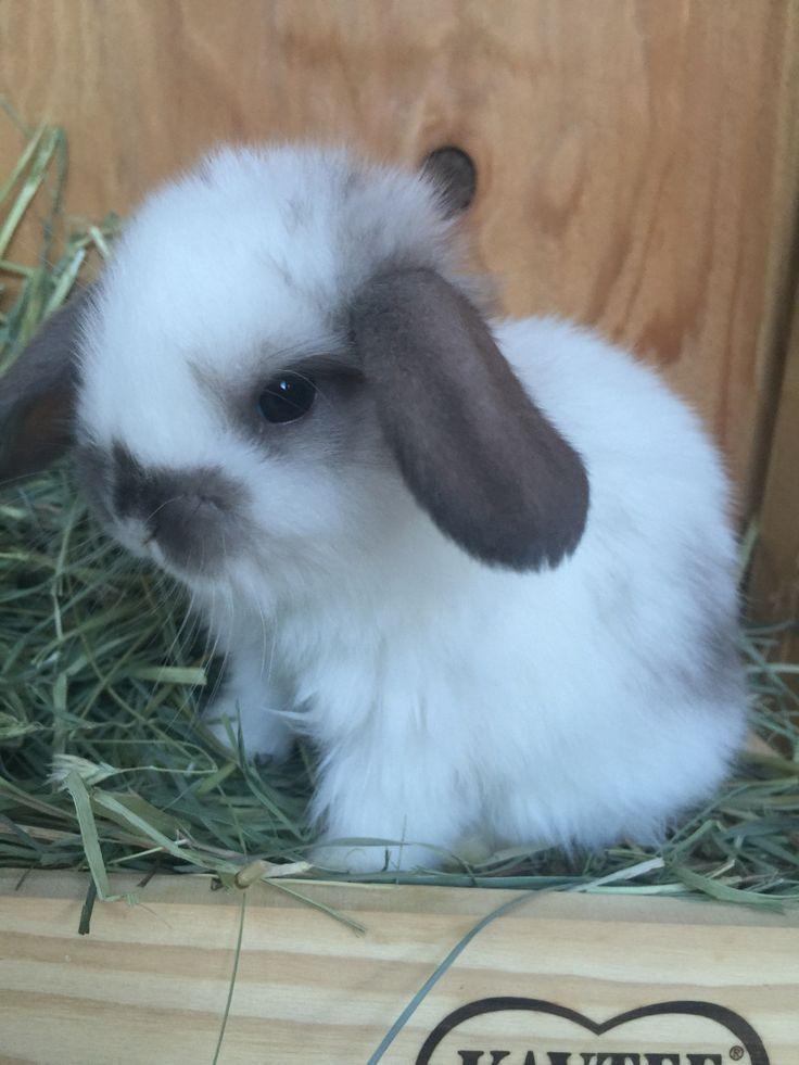 Holland lop baby bunny-4 weeks old