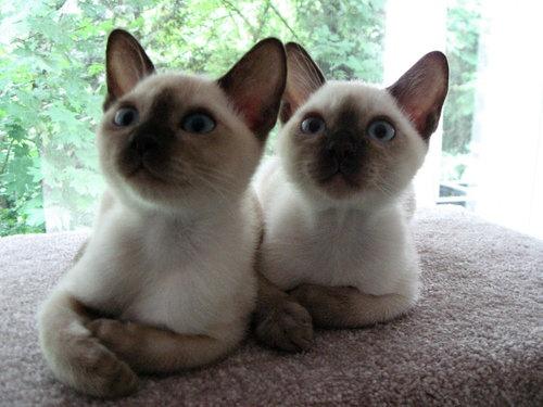 Photo of Tonkinese Kittens Ukko & Zeus