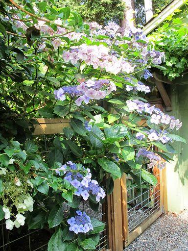 This is a Hydrangea macrophylla 'Blue Wave'.  Nancy is sending me a similar one - Hydrangea aspera 'Sam McDonald'.