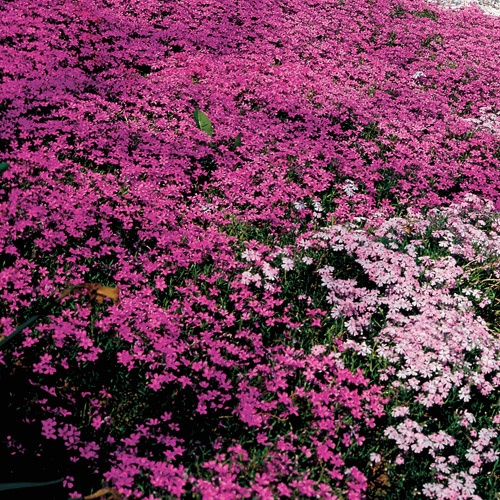 Pin by marcy eck on the great outdoors pinterest for Pink flower perennial ground cover