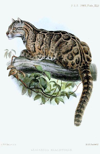O LEOPARDO-NEBULOSO (Neofelis nebulosa brachyura) de Taiwan está provavelmente extinto. Nenhum desses animais é visto em mais de trinta anos, apesar de um esforço recente e intensivo de 13 anos para documentar um. Fizemos quase tudo o que podíamos para eliminar esse animal; destruímos seu habitat, o caçamos por sua pele e matamos outros animais que ele comia. Em resumo, o leopardo não teve chance e entrou para a lista de animais extintos.