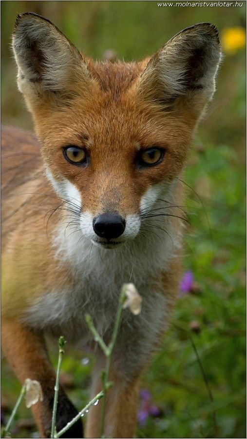vörös róka portré