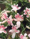 Image Hardy Mini Gladiolus Bulbs