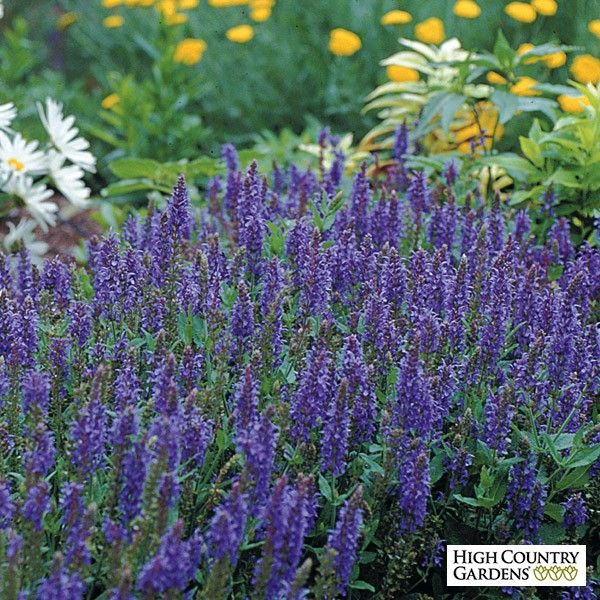 17 Best images about Salvia on Pinterest | Hummingbirds ...