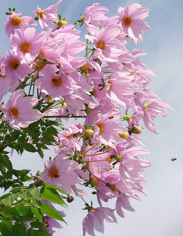 The Tree Dahlia (Dahlia imperialis) from Central America can grow up to 30 ft tall.