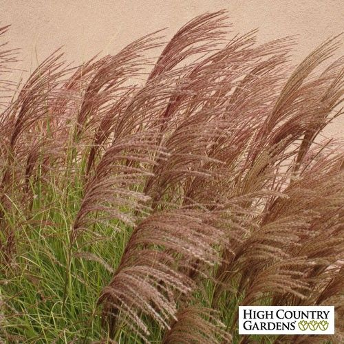 Miscanthus sinensis Gracillimus | Miscanthus sinensis Gracillimus | Low Water Plants, Eco Friendly Landscapes | High Country Gardens
