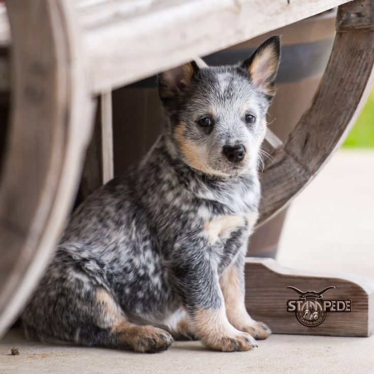 1000 images about cow dogs on pinterest blue heeler dog. Black Bedroom Furniture Sets. Home Design Ideas