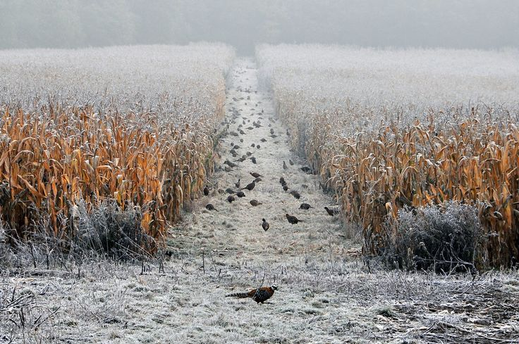 Pheasants feeding on a cold and frosty morning in the cover crop.