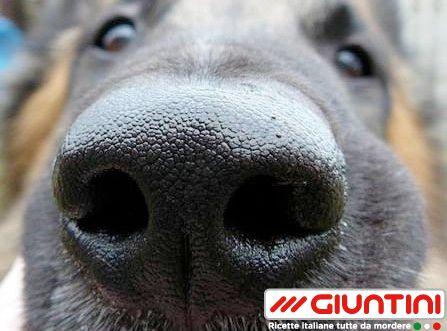 """Lo sapevi che... il cane da fiuto è un segugio specializzato nella ricerca grazie al suo potente olfatto. Negli ultimi tempi la straordinaria capacità del cane di percepire odori per noi """"inesistenti"""" viene sfruttata anche nella prevenzione di alcune malattie. Sembra infatti che i cani riescano a riconoscerle fin dai primi sintomi con una semplice annusatina."""