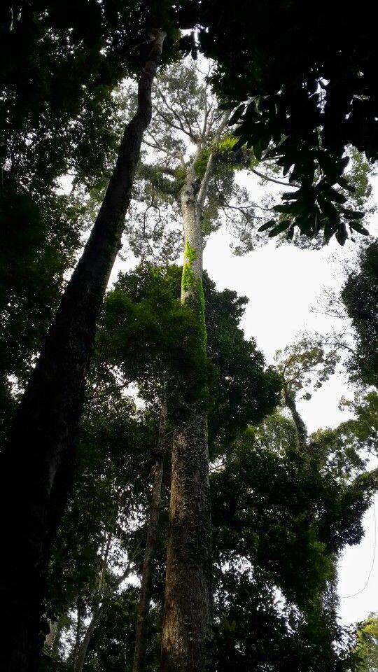 The Tallest Tropical Tree In The World. Tawau Hills Park, Tawau Sabah.
