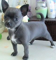 Blue Belle   Apple Head Chihuahua Puppies aaaahhh!!!! I want one!!!!
