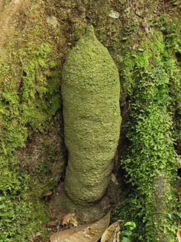Danum Valley Conservation Area | Phallus Termite Mound (Dicuspiditermes), Danum Valley Conservation ...