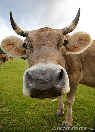 Funny Cow Big Face Pics   Sweet!   Pinterest