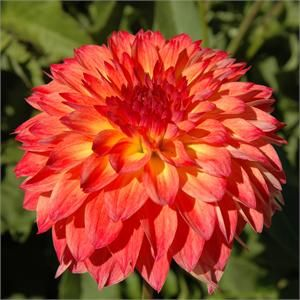 """SEPTEMBER MORN (BBFD) Introduced in 1987. Has alluring yellow blossoms with rose orange shading on the outer 1/3 edge of the petals. The 5"""" ..."""