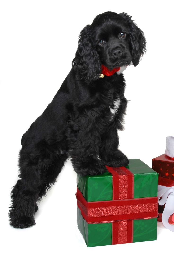Christmas Puppy Photo - Blue Moon 4.5 months Black Cocker Spaniel