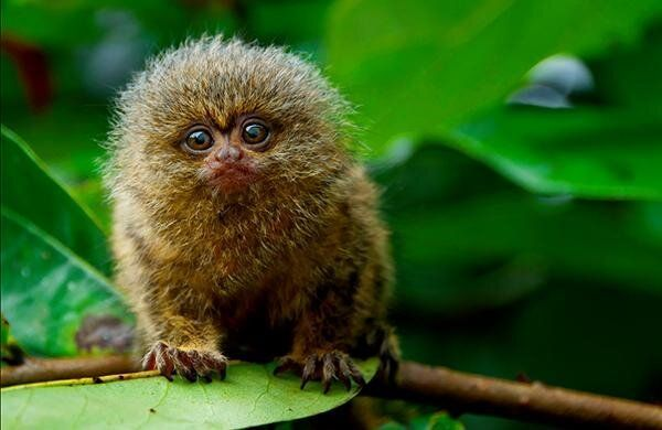 The smallest monkey species in the world, the pygmy marmoset!