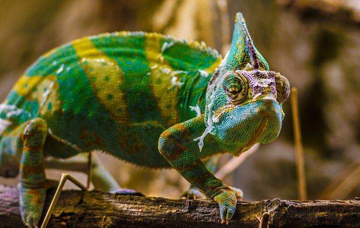 Chameleon by Ali Aksi on 500px