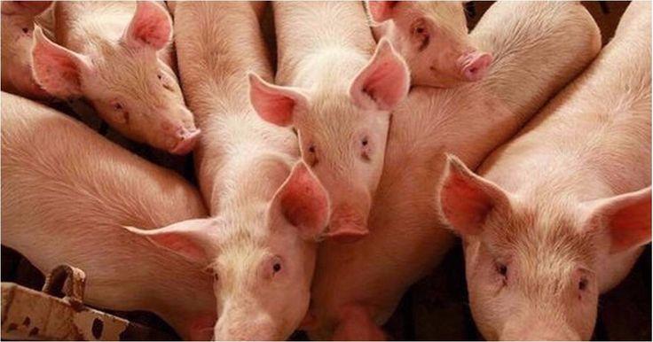 Condenan a un hombre a seis meses de arresto domiciliario por vender un cerdo… #Internacionales #arrestodomiciliario #miami #ventadecerdo