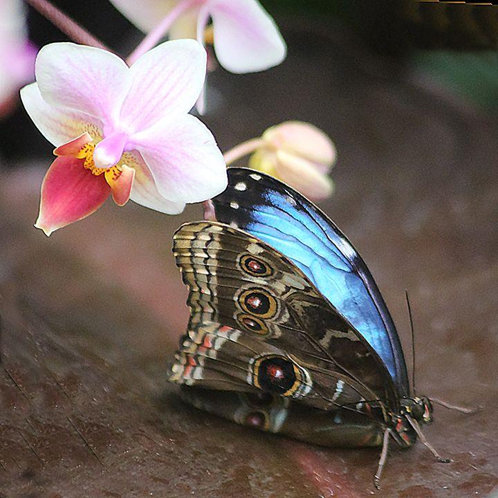 Blue Morpho Butterfly taken at Powell Gardens, near Kansas City, Mo.