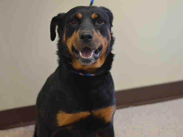 Manhattan Center   BROOKLYN - A1021008   FEMALE, BLACK / RED, ROTTWEILER, 4 yrs OWNER SUR - EVALUATE, NO HOLD Reason CHILDCONFL  Intake condition EXAM REQ Intake Date 11/18/2014, From NY 11211, DueOut Date 11/21/2014,  https://www.facebook.com/Urgentdeathrowdogs/photos/a.617938651552351.1073741868.152876678058553/907536185925928/?type=3&theater