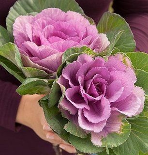Pink Flowering Kale http://ecx.images-amazon.com/images/I/51ikYa7q91L._AC_UL320_SR306,320_.jpg